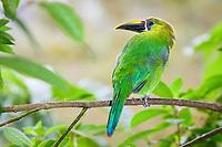 emerald toucanet, or northern emerald toucanet, Aulacorhynchus prasinus, Costa Rica