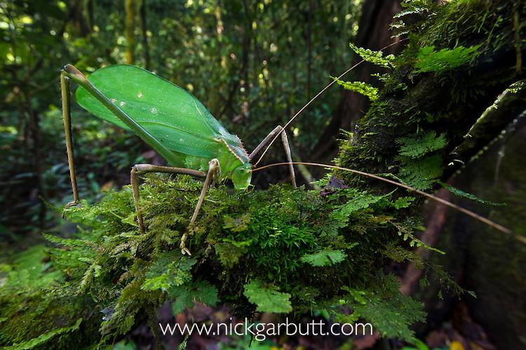 Giant Long-horned Bush Cricket (Macrolyristes imperator) (body length 130mm, hind leg length 150mm, antennae length 170mm) grazing on moss in the understorey. Lowland dipterocarp rainforest, Danum Valley, Sabah, Borneo.
