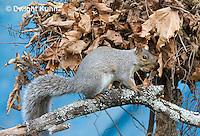 MA23-503z  Gray Squirrel at Nest in the tree branches, Sciurus carolinensis