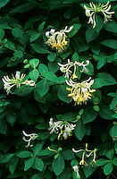 Wald-Geissblatt, Wald-Geißblatt, Waldgeissblatt, Waldgeißblatt, Wildes Geißblatt, Wald-Heckenkirsche, Lonicera periclymenum, Woodbine, Common Honeysuckle, European Honeysuckle