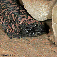 0218-08xx  Gila Monster, Heloderma suspectum © David Kuhn/Dwight Kuhn Photography