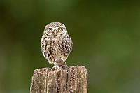Little owl (Athene noctua), mouse as prey, Rhineland-Palatinate, Germany, Europe