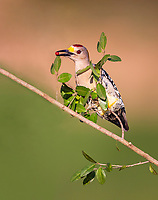 Male Golden-Fronted Woodpecker perched on branch with red berry in beak