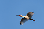 Damon, Texas; an adult white ibis bird flying overhead against a blue sky in late afternoon sunlight