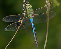 Common Green Darner (Anax junius) Dragonfly - Male, West Harrison, Westchester County, New York