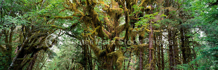 Haida Gwaii (Queen Charlotte Islands), Northern BC, British Columbia, Canada - Moss Covered Trees in Temperate Rainforest on Graham Island
