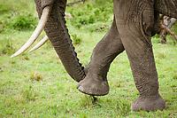 African Elephant (Loxodonta africana), Masai Mara, Kenya, Africa