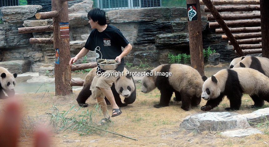 """Pandas that were brought from the damaged Wolong panda reserve to Beijing chase a panda keeper who has some of their favourite food """"panda biscuits"""" made from rice, bamboo and a variety of nutrients, 16th august 2008.   Eight tramatised one and two year-old  pandas were brought from Wolong to Beijing for recuperation and have been placed in aan Olympic Panda exhibition at Beijing zoo and are recieving unprecadented number of visitors. <br /><br /> Photo by Richard Jones/Sinopix"""