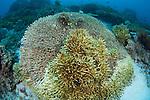 Hard coral bleaching in progress, Komodo National Park, Nusa Tenggara, Indonesia, Pacific Ocean