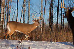 White-tailed deer in winter
