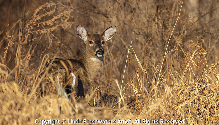 White-tailed doe blending in with the dried foliage.