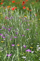 Gewöhnliche Kornrade, Ackerrade, Kornnelke, Kornrose, Agrostemma githago, Common corn-cockle, corncockle, corn cockle, La nielle des blés, Ackerwildkraut, Blumenwiese, Wildblumen, artenreiche Blütenwiese, Wildblumen-Wiese