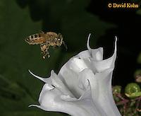 0824-06yy  Honey bee - Apis mellifera © David Kuhn/Dwight Kuhn Photography