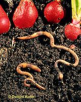 1Y01-163z  Earthworms tunneling under garden radishes