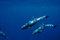 melon-headed whales, Peponocephala electra, Layang Layang Atoll, off Borneo, Malaysia South China Sea