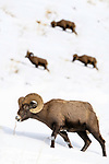 Male Rocky Mountain Bighorn Sheep (Ovis canadensis canadensis) grazing. Lamar Valley, Yellowstone National Park, Wyoming, USA. January