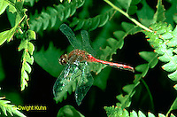 1O05-027b  Dragonfly adult male flying - White faced meadowhawk - Sympetrum obtrusum..