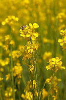 Rajasthan, India.  Bee on a Mustard Bloom in a Field of Mustard.