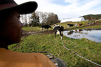 Ernest Estrella, 16, herds cattle from the pasture to the barn to get milked at the Estrella Family Creamery in Montesano,Wash.  on November 4, 2010.  The Food and Drug Administration ordered the Estrella Family Creamery in Montesano,Wash.  to stop processing cheeses after it found listeria bacteria on some of the cheeses this year.  The family says they have made many renovations on the farm and the bacteria is only found on the soft cheese, not everything.  They believe they should be allowed to resume making cheese and sell the hard cheeses they have already made at the facility.  The creamery is one of Washington's most famous artisan cheesemakers.  (photo credit Karen Ducey). .