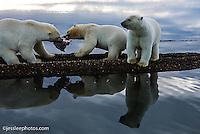 Polar bears fight over food  the shore of the Beaufort Sea in Alaska Alaska Polar Bear Photography Prints