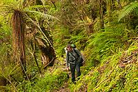 Tramper in lush green, native rainforest on Alex Knob track, Westland Tai Poutini National Park, UNESCO World Heritage Area, West Coast, New Zealand, NZ