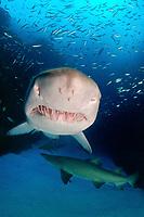 sand tiger shark, grey nurse shark, spotted ragged-tooth shark; Carcharias taurus; South West Rocks; Australia; Pacific Ocean