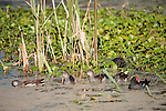 Brazoria County, Damon, Texas; immature and adult Common Gallinule (Gallinula galeata) birds foraging for food amongst the vegetation at the water's surface