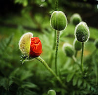 Close up of the bud of an oriental poppy (Papaver orientale) opening to reveal the red flower inside