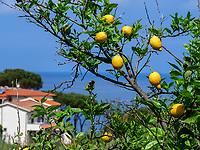 Zitronenbaum bei Sant'Andrea, Elba, Region Toskana, Provinz Livorno, Italien, Europa