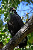 Common Black Hawk with nesting material, Big Bend National Park, Texas