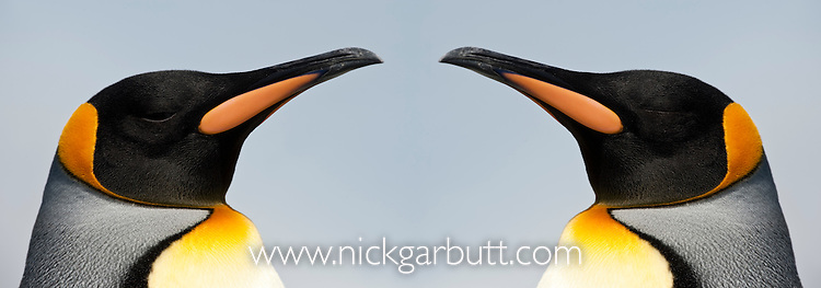 King Penguins (Aptenodytes patagonicus), Salisbury Plain, South Georgia, South Atlantic.