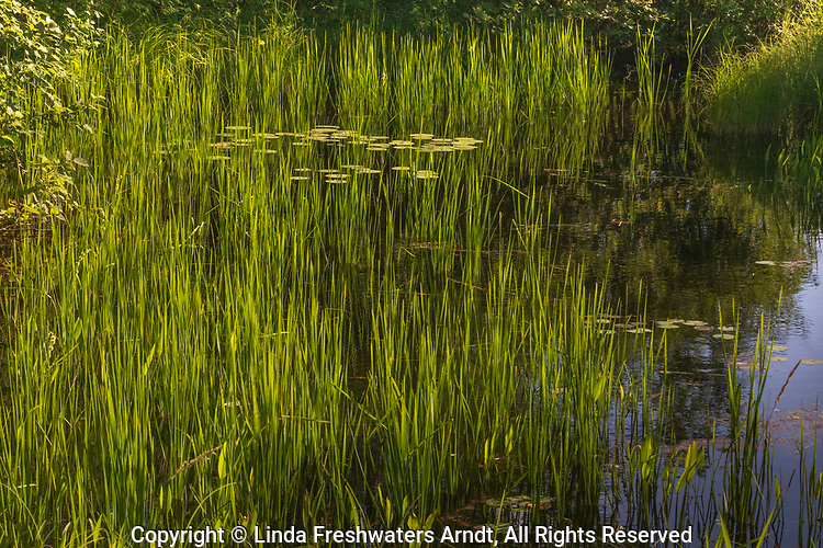 Water lilies on the East Fork of the Chippewa River.