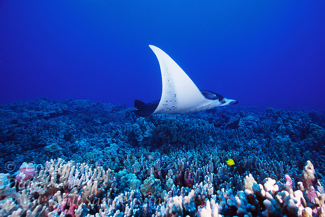 Manta Ray (Manta birostris) flys above a coral reef, underwater off the Kona coast of the Big Island of Hawaii, USA.