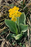 Alpen-Aurikel, Alpenaurikel, Primula auricula, Auricula, Dusty Miller, Auricule