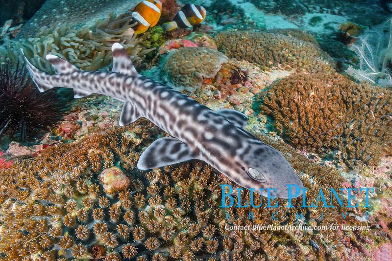 coral catshark, Atelomycterus marmoratus, Bugtong Batu Seamount, Malapascua Island, Visayan Sea, Philippines, Pacific Ocean