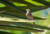 Female House Finch, Haemorhous mexicanus, perches on a yucca in the Desert Botanical Garden, Phoenix, Arizona