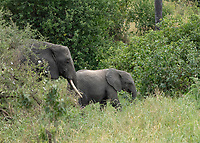 Female African Elephant and calf, Loxodonta africana, in Tarangire National Park, Tanzania