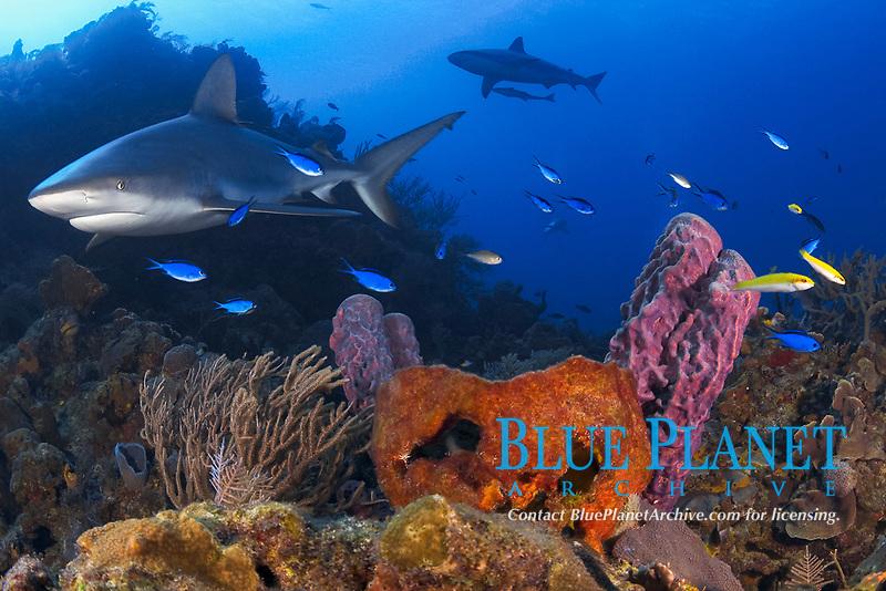 Caribbean reef sharks (Carcharhinus perezii) in a colorful Bahamamian reef, Little Bahama Bank, Bahamas, Caribbean, Atlantic