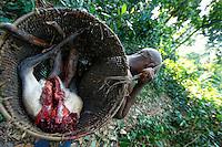 : Meat from the bush in a traditional basket. The men make traps of wood and lianas to trap antelopes and boar. The meat is shared at the camp and the surplus sold. The pygmies also hunt with a gun for the Bantu salesmen. The hunt, with a permit, is open legally from May 1 to October 20. The natives are authorized to hunt all year for their needs with traditional means if they do not trade or sell the meat. Meat from the bush can be found in the markets year-round and throughout the country.///Viande de brousse dans un panier traditionnel. Les hommes confectionnent des pièges en bois et en lianes pour piéger antilopes et sangliers. La viande est partagé au campement et le surplus vendus. Les pygmées chassent aussi au fusil pour les commerçants bantous. La chasse est ouverte avec un permis légalement du 1 mai au 20 octobre. Les autochtones sont autorisés à chasser toute l'année pour leurs besoins avec des moyens traditionnels si ils n'en font pas commerce. L'on trouve de la viande de brousse sur les marchés toute l'année et dans tout le pays.