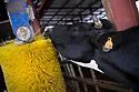 15/02/17 - OLLOIX - PUY DE DOME - FRANCE - GAEC de Savignat. Bien etre animal - Photo Jerome CHABANNE