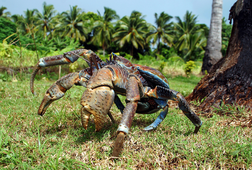 Coconut crab [Birgus latro] is the largest of the hermit crab family reaching as much as six pounds. The young inhabit the traditional shell/home, but as adults they tuck their hardened abdomen under the carapace. Aitutaki, The Cook Islands.