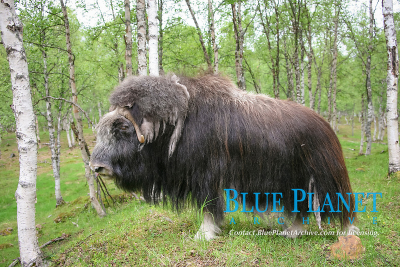 Musk Ox (Ovibos moschatus) in birch forest, Norway, Europe
