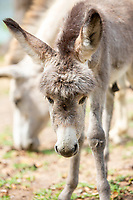 Baby Donkey and mother<br /> St. John <br /> US Virgin Islands
