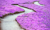 Purple ice plant blossoms and trail. Pacific Grove, California.
