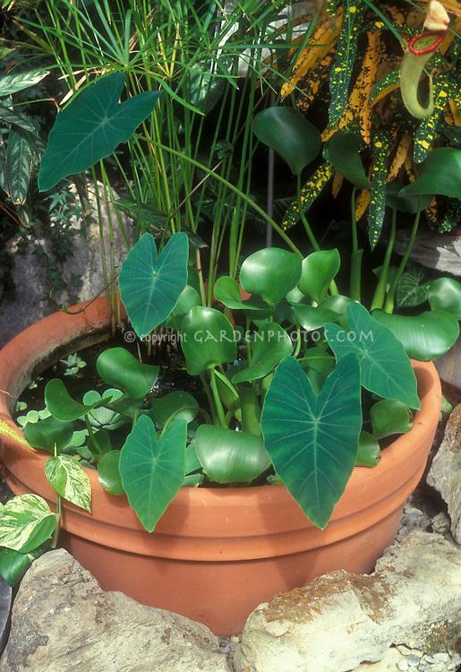 Colocasia esculenta (Taro) in small water garden pot container