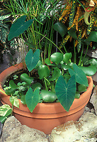 Colocasia esculenta (Taro) in small water garden pot container