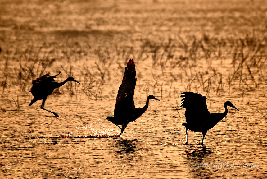 Three sandhill cranes landing in synchronous fashion at sunset in the Bosque del Apache National Wildlife Refuge in southwestern New Mexico.