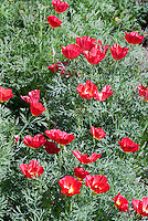 Eschscholzia californica Strawberry Fields California poppy, red poppies, annual flowers