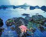 Tidepool, Sunflower Star, Pycnopodia helianthoides, Ozette Beach, Olympic National Park, Washington
