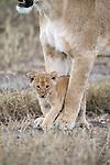 Lion, Kruger National Park, South Africa